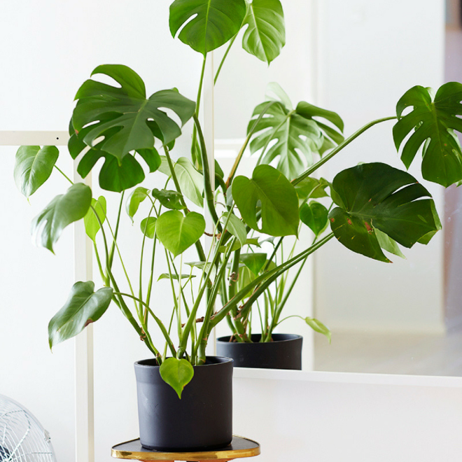 Monstera-plante-interieur-deco-maison