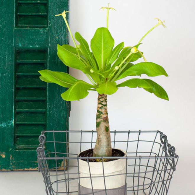 palmier-hawaien-plante-originale-idee-cadeau.png