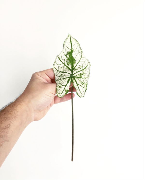 Plantes Thibault hebdomania green 2